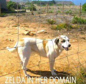 Zelda in her domain - white, tan dog behind fence