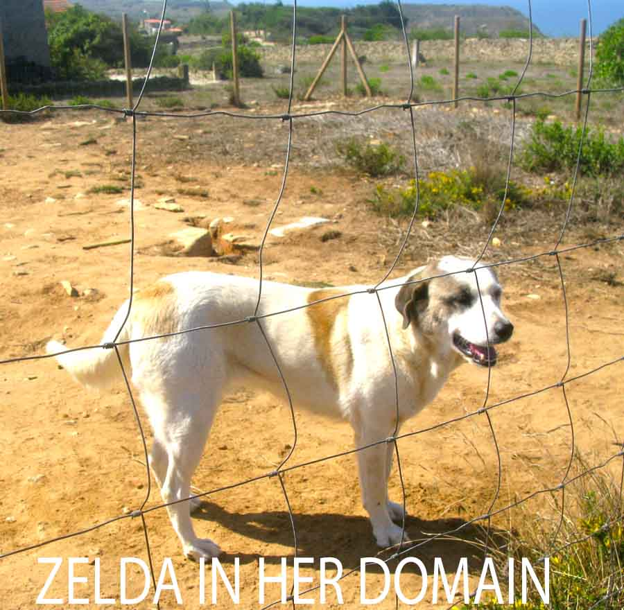Zelda in Her Domain - white, tan dog behind fence - great view