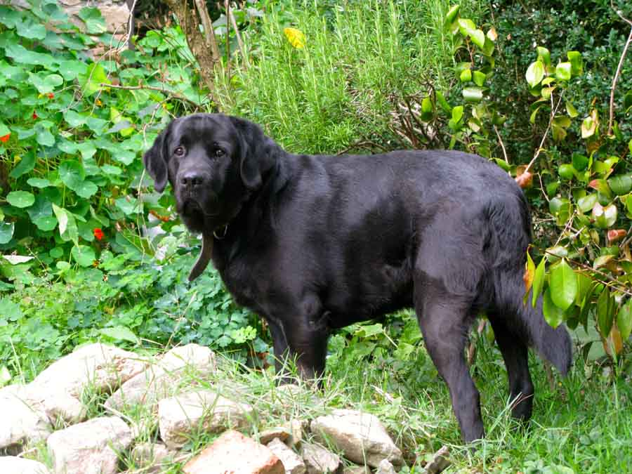 Baco, a black dog outside in the garden