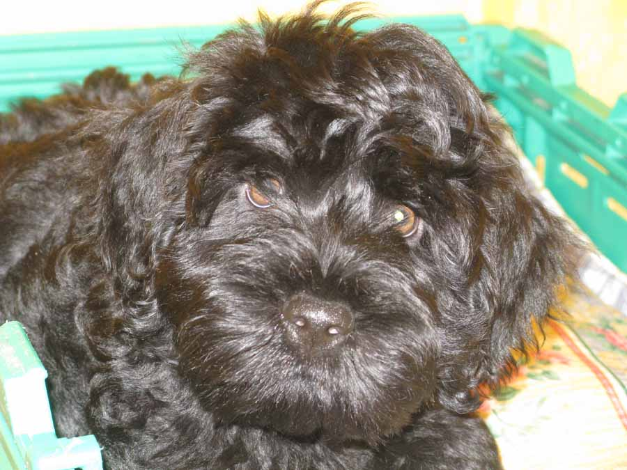 Luca, Portuguese water dog as baby