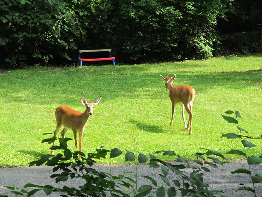 Two deer on grass - bench in background