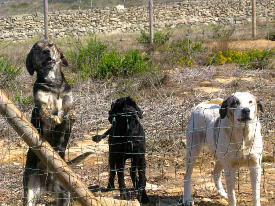 Dogs outside behind fence - Zelda, Luca and Clotilde