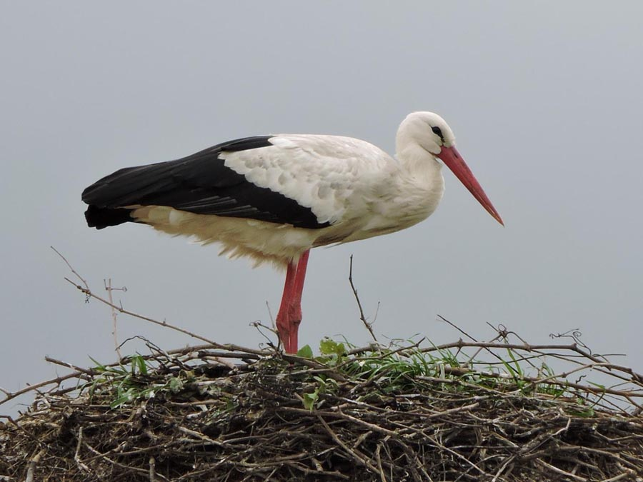 Stork in nest - yes, a stork!