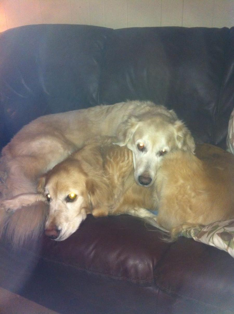 Two dogs cuddling on sofa